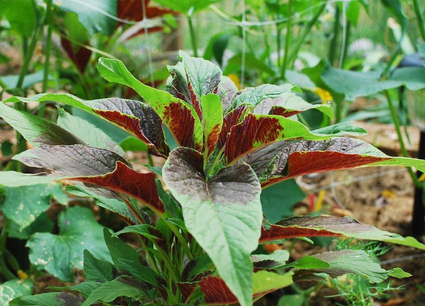Szarłat trójbarwny w ogrodzie, a także uprawa szarłata trójbarwnego krok po kroku
