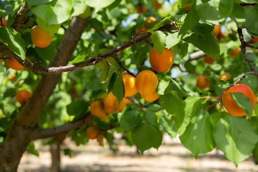 Morele dojrzałe na drzewie owocowym, a także cięcie i przycinanie moreli krok po kroku