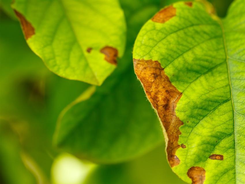 Zaraza ogniowa jabłoni i choroby gruszy oraz zapobieganie i zwalczanie zarazy drzew