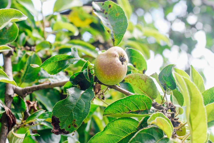 Zaraza ogniowa jabłoni oraz jej rozpoznanie i zwalczanie zarazy ogniowej krok po kroku