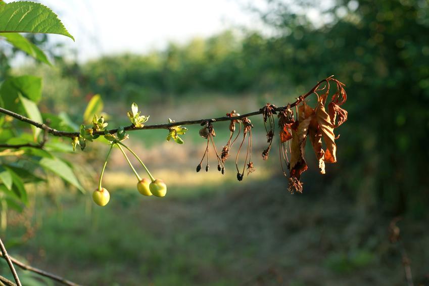 Brunatna zgnilizna drzew pestkowych oraz jej rozpoznanie i zwalczanie krok po kroku