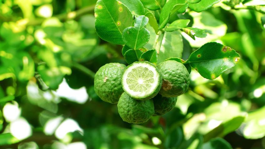 Pomarańcza bergamotka w ogrodzie, a także uprawa i pielęgnacja krok po kroku