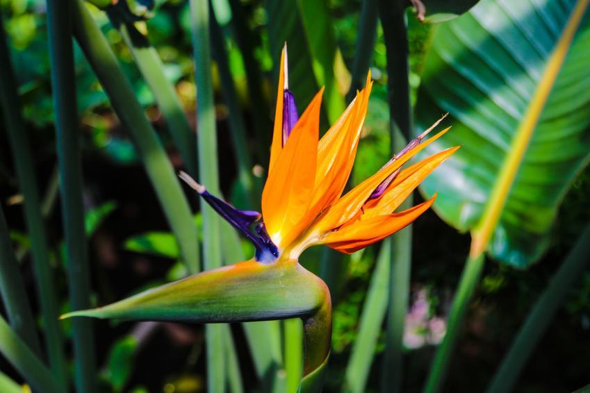 Strelicja królewska lub rajski ptak w czasie kwitnienia, a także jego uprawa i pielęgnacja