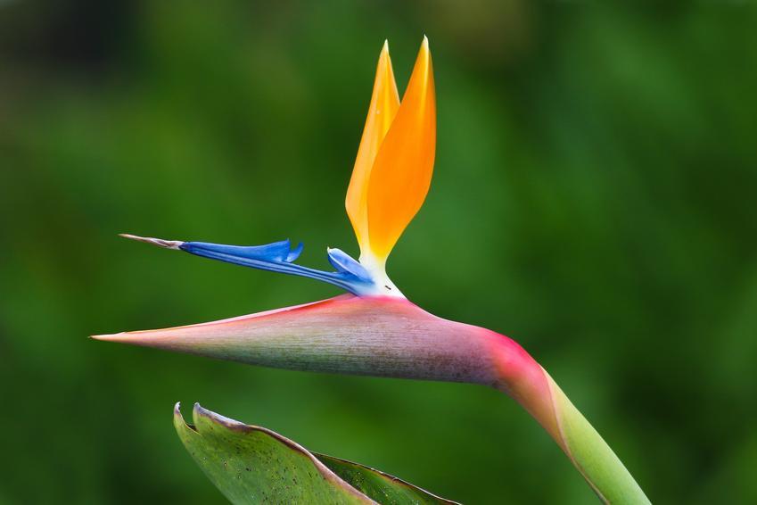 Strelicja królewska w czasie kwitnienia oraz rajski ptak krok po kroku, czyli jego uprawa