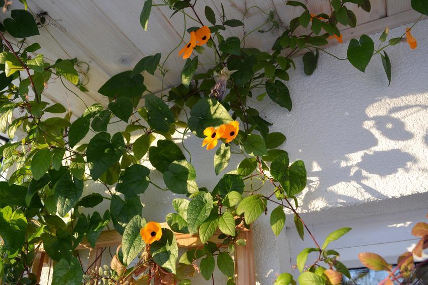 Tunbergia oskrzydlona oraz tunbergia wielkokwiatowa, a także ich uprawa i pielęgnacja