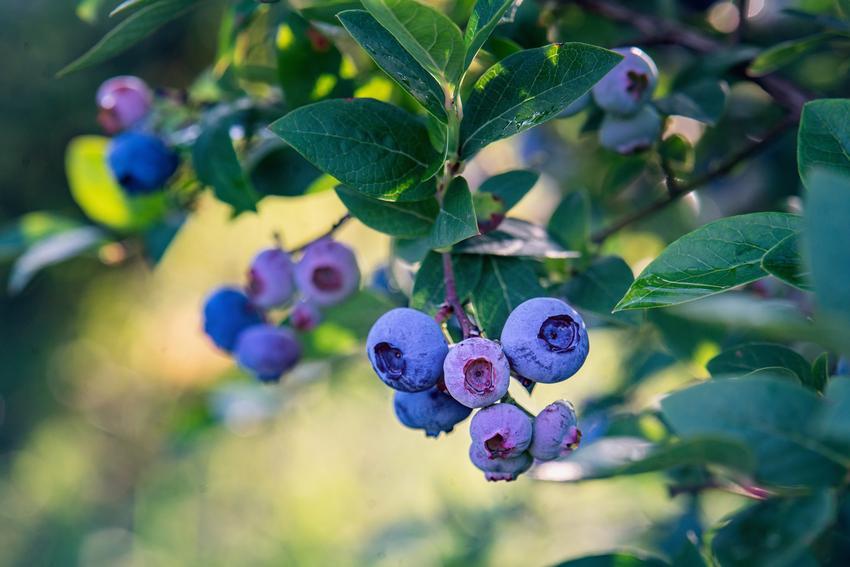 Borówka amerykańska odmiany Bluecrop, a także inne polecane i dobre odmiany borówki amerykańskiej