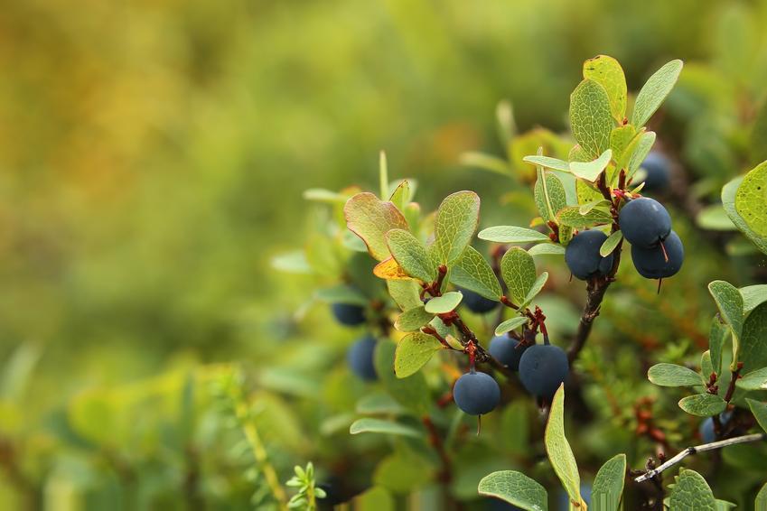 Borówka bagienna na krzewie oraz jej uprawa, właściwości i podstawowe zastosowwanie