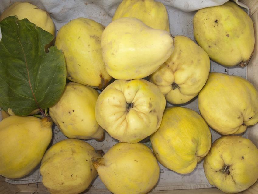 Owoce pigwy, a także pigwa gruszkowa i sadzonki pigwy gruszkowej sadzone krok po kroku