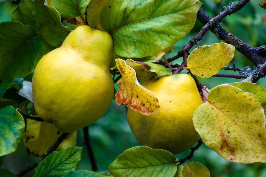 Pigwa gruszkowa w czasie owocowania oraz sadzonki pigwy gruszkowej, a także jej uprawa