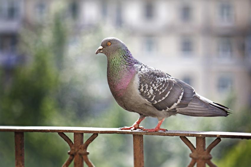 Gołąb na balkonie, a także odstraszacz gołębi i straszak na gołębie, a także odstraszanie ptaków z balkonu