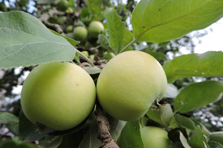 Jabłka dojrzewające na jabłoni, a także polecane stare odmiany jabłoni do ogrodu