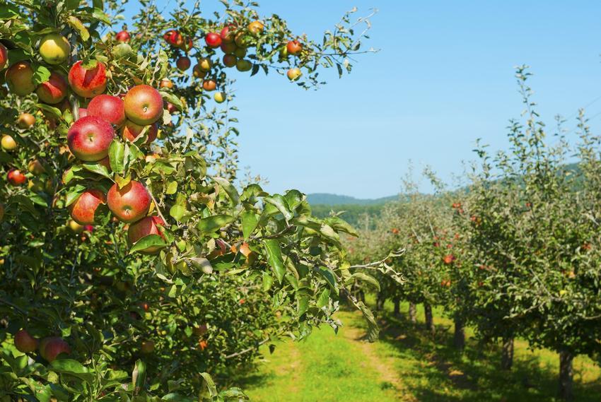 Jabłonie owocujące w sadzie, a także dawne odmiany jabłoni, ich opis i sadzonki