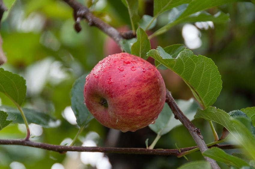 Dojrzałe jabłko na jabłoni, a także odminy jabłek i smaczne gatunki do ogrodu