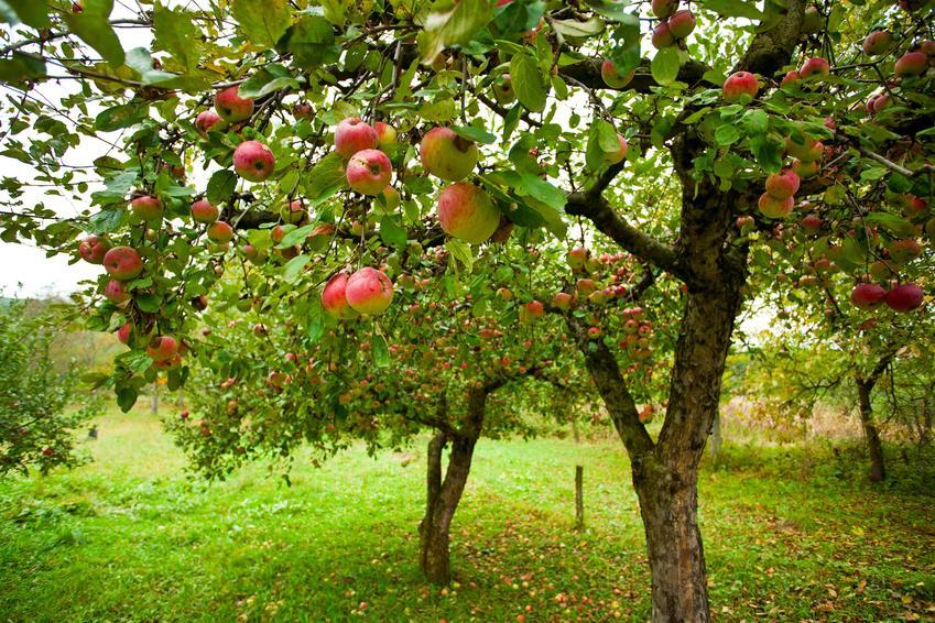 Jabłonie rosnące w sadzie owocowym, a także odmiana jabłoni warta polecenia