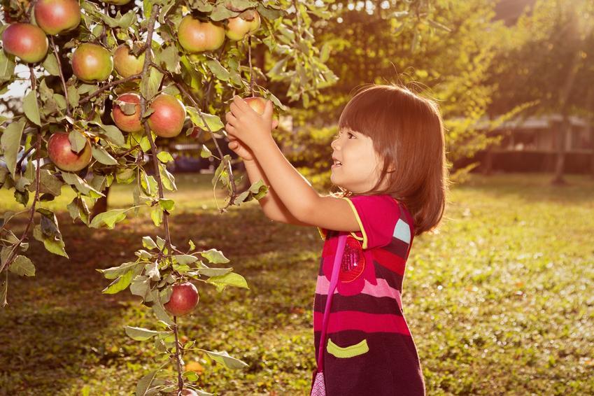 Dziewczyna zrywająca jabłka z jabłoni, a także zimowe odmiany jabłoni i wczesna odmiana jabłoni