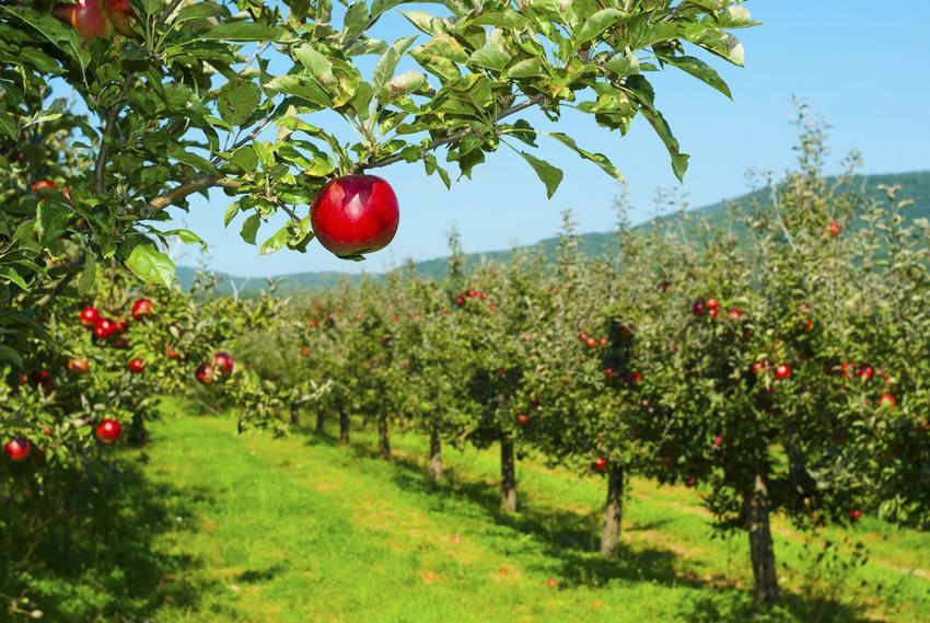 Jabłonie w sadzie, a także polecana wczesna odmiana jabłoni i zimowe odmiany jabłoni