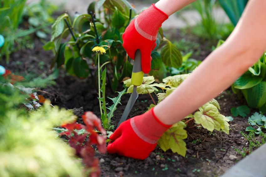 Kobieta podczas wycinania chwastów w ogrodzie, a także najlepsze narzędzia do pielenia i plewienia chwastów