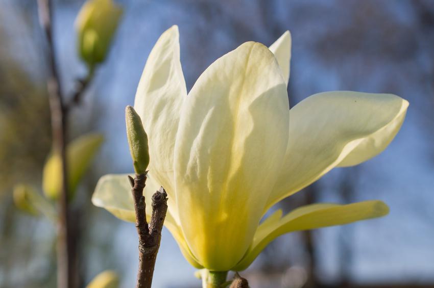 Magnolia żółta i zbliżenie na jej kwiat, a także polecane odmiany i zasady uprawy oraz pielęgnacja magnolii