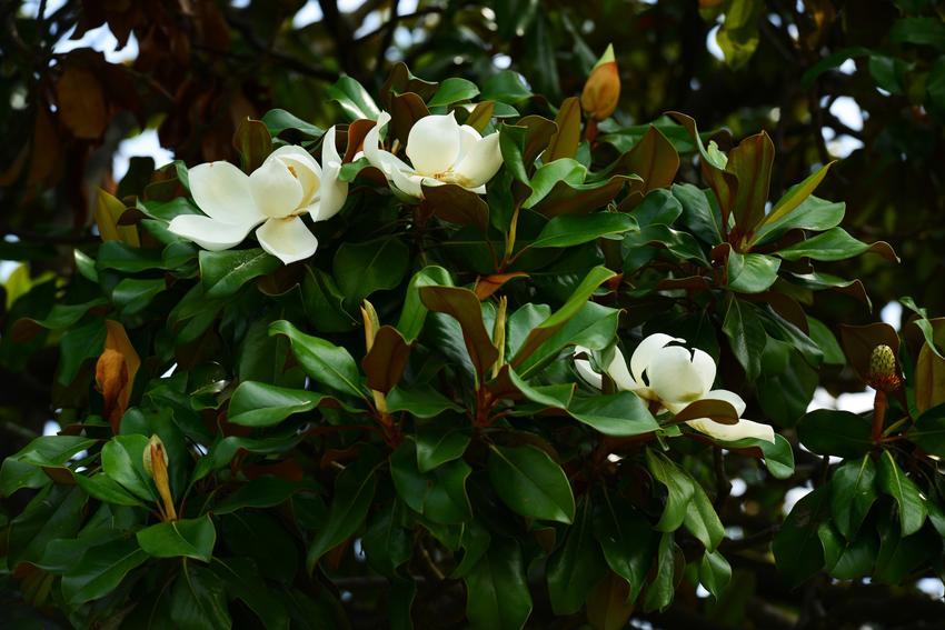 Magnolia podczas kwitnienia, a także popularne Choroby magnolii i szkodniki magnolii