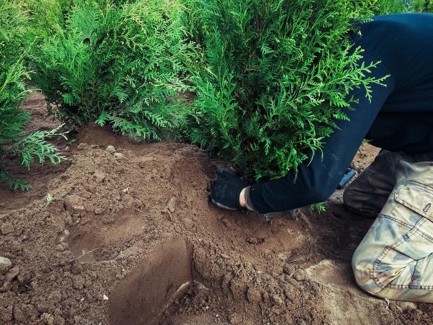 Sadzenie tui w ogrodzie oraz porady, w jakiej odległości sadzić tuje szmaragd i brabant
