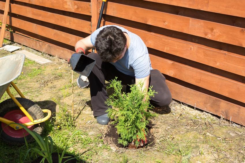 Tuje podczas sadzenia w ogrodzie, a także w jakiej odległości sadzić tuje różnego gatunku