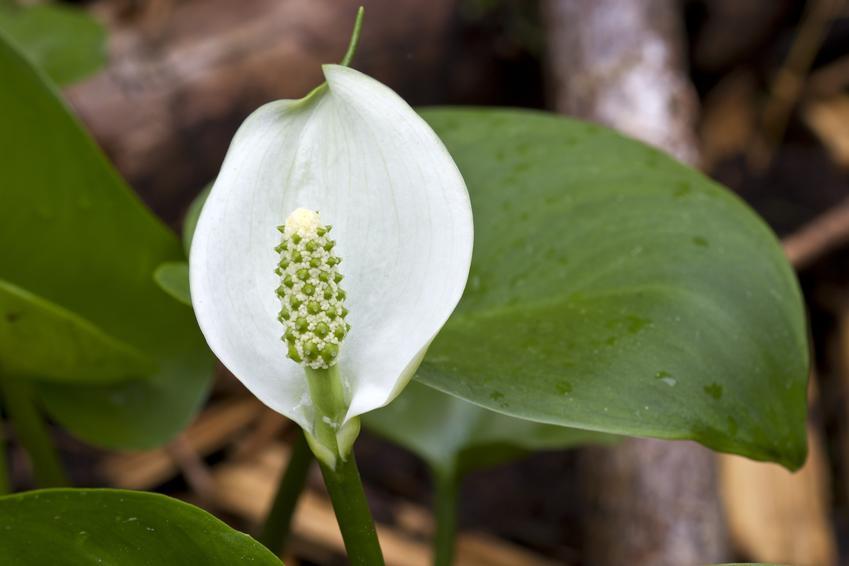 Czermień błotna calla palustris i zbliżenie na jej kwiat, a także uprawa w oczku wodnym