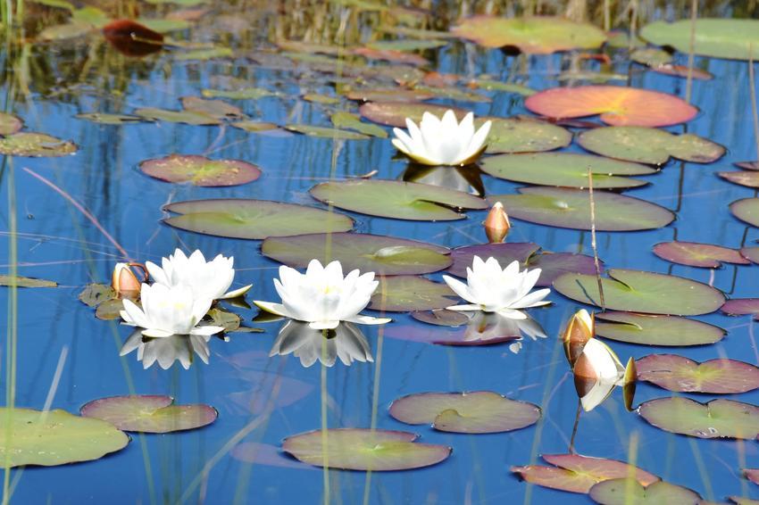 Grzybień biały, czyli grzybień wodny na oczku wodnym, a także grzybienie i ich uprawa