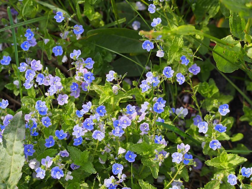 Przetacznik polny veronica arvensis w czasie kwitnienia oraz zwalczanie chwastów