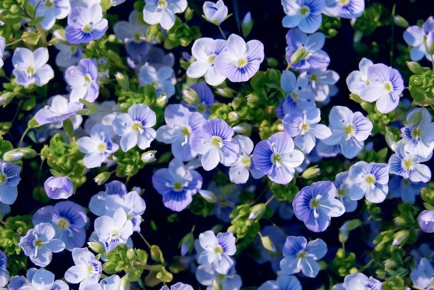 Przetacznik bluszczykowy veronica hederifolia w czasie kwitnienia oraz zwalczanie przetacznika bluszczykowego
