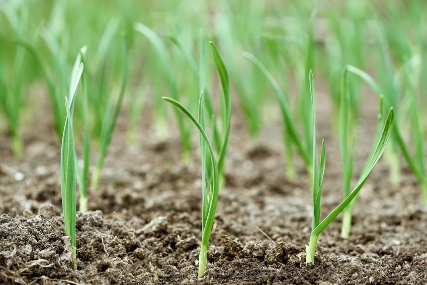 Czosnek wiosenny w trakcie wzrostu, a także sadzenie czosnku wiosną krok po kroku