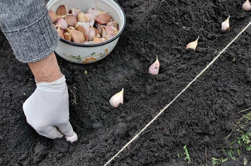 Sadzenie czosnku wiosną krok po kroku, czyli czosnek wiosenny i jego uprawa