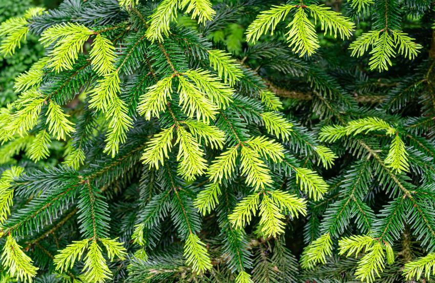 Zielone igły jodły kaukaskiej, a także sadzonki jodły kaukaskiej, ich cena i uprawa