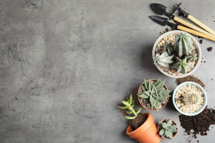 Kaktusy doniczkowe podczas sadzenia, a także polecana ziemia do kaktusów
