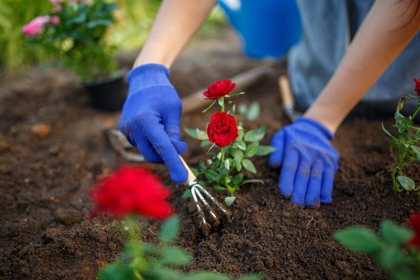 Róże podczas sadzenia w ogrodzie, czyli jaka ziemia do róż będzie odpowiednia