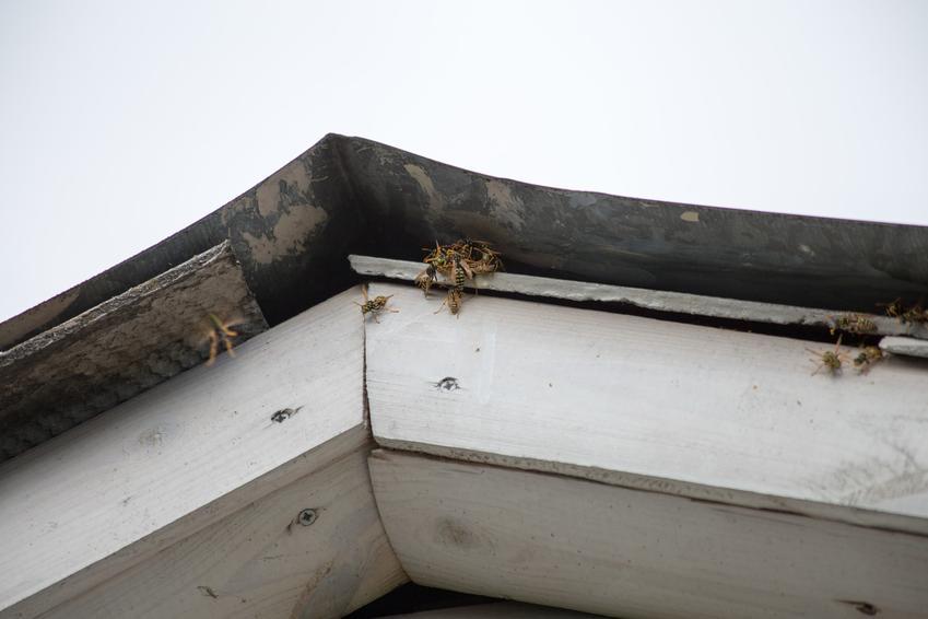 Szerszenie w dachu domu, a także polecane środki owadobójcze