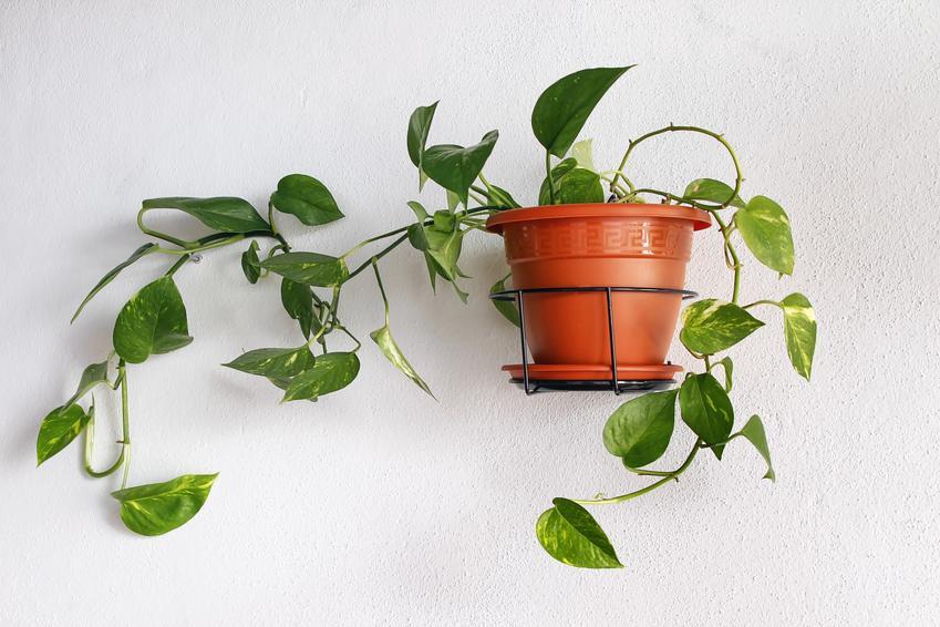 Pnącze w doniczce na ścianie w pokoju, a także polecane rośliny oczyszczające powietrze w domu