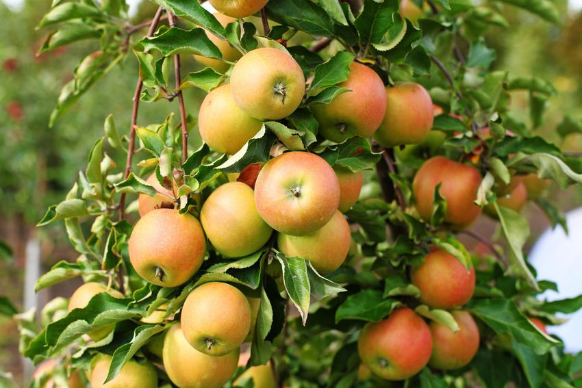 Jabłka odmiany Jonagold na drzewie oraz inne polecane zimowe odmiany jabłoni