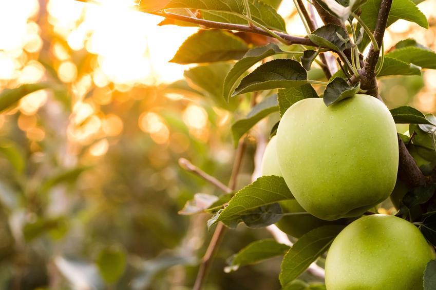 Jabłka Golden Delicious na drzewie, a także polecane zimowe odmiany jabłoni