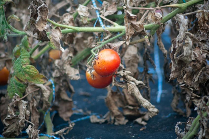 Choroby pomidorów, a dokładniej brunatna plamistość liści pomidora i jej zwalczanie