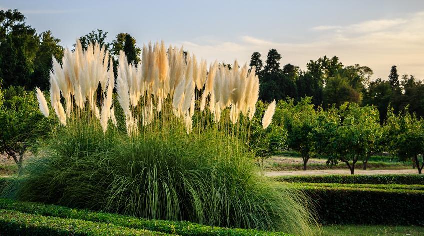 Trawa pampasowa na tle pięknych drzew oraz sadzonki trawy pampasowej