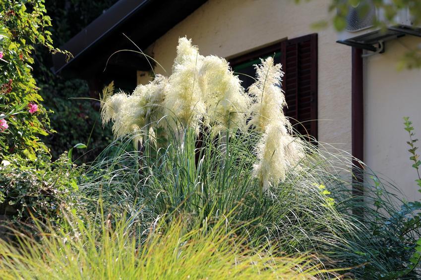Trawa pampasowa na tle domu oraz sadzonki trawy pampasowej