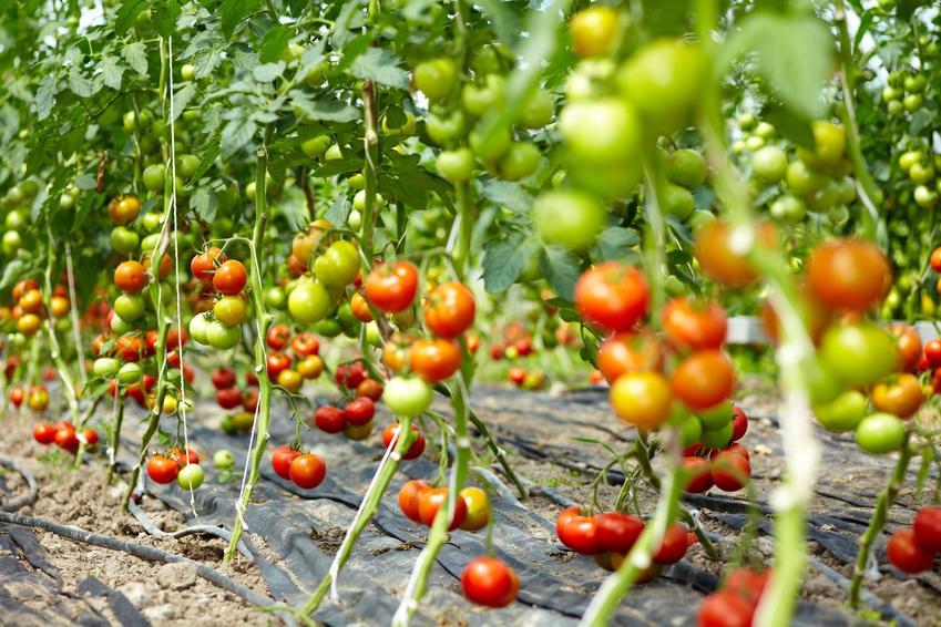 Pomidory rzysmkie lub pomidory śliwkowe na krzaczkach, a także ich uprawa
