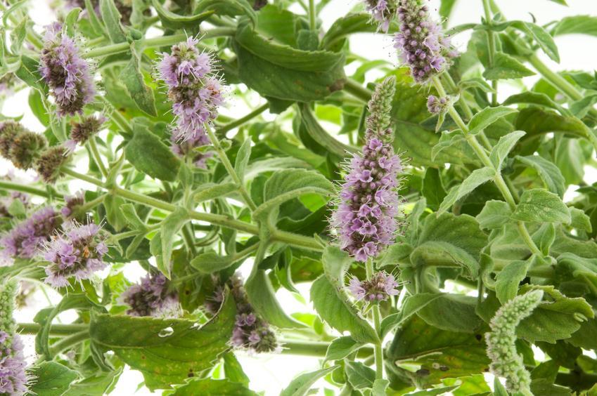 Mięta polna mentha arvensis w czasie kwitnienia, a także właściwości mięty polnej