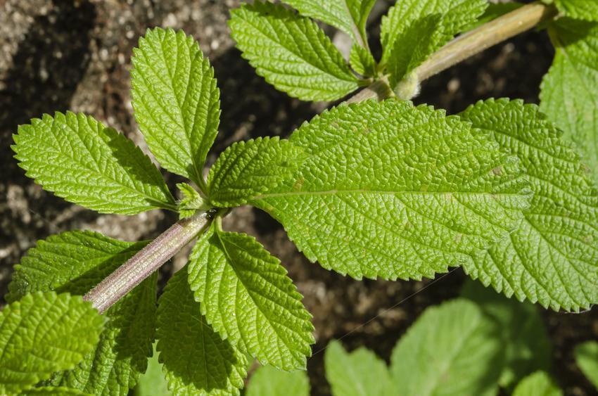 Mięta polna i jej liście, czyli mięta dzika oraz zastosowanie i właściwości mięty polnej