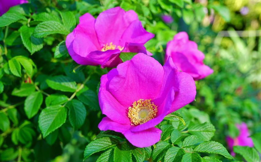 Róża pomarszczona i zbliżenie na jej kwiaty, a także odmiany, sadzenie i pielęgnacja rosa rugosa