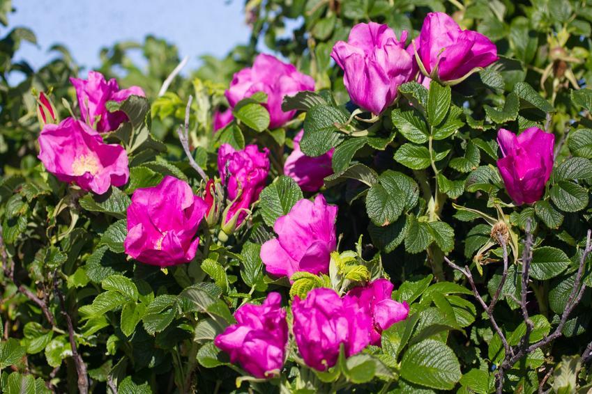 Róża pomarszczona w czasie kwitnienia, czyli rosa rugosa oraz jej odmiany