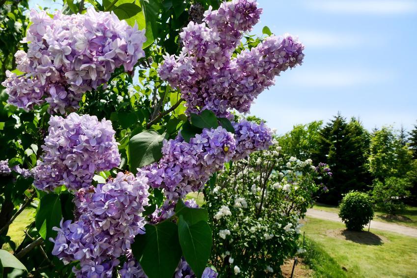 Lilak japoński w czasie kwitnienia w ogrodzie, a także inne polecane odmiany