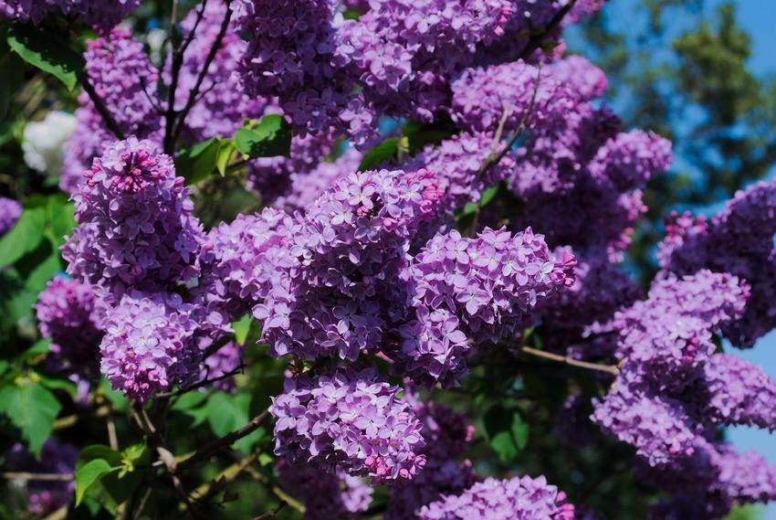 Lilak czy też popularne bez w czasie kwitnienia, a także jego odmiany i uprawa