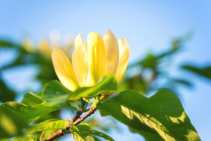 Magnolia yellow bird w czasie kwitnienia, czyli magnolia żółta, jej cena, uprawa i pielęgnacja