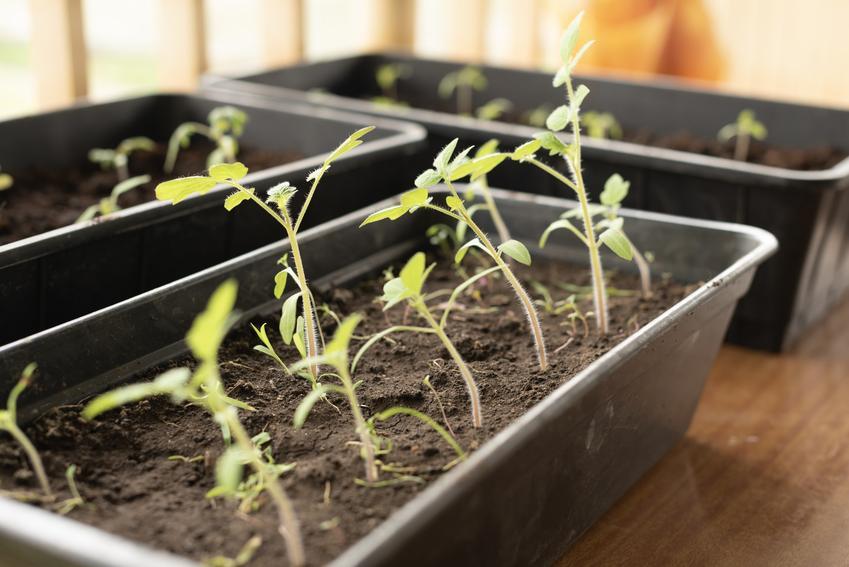 Siewki pomidorów, a także jak i kiedy pikować pomidory krok po kroku